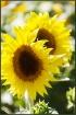 Sunflower Pair