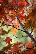 """Red Maple """"Bold"""""""