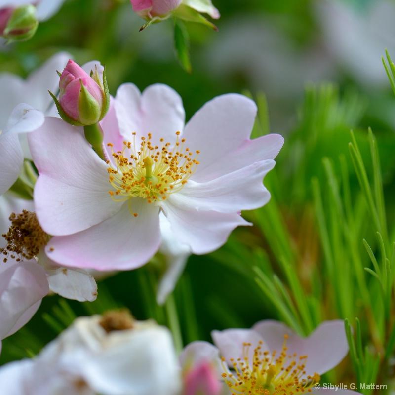 """Rosa """"Weiße Immensee"""" und Pinus mugo - ID: 14557510 © Sibylle G. Mattern"""