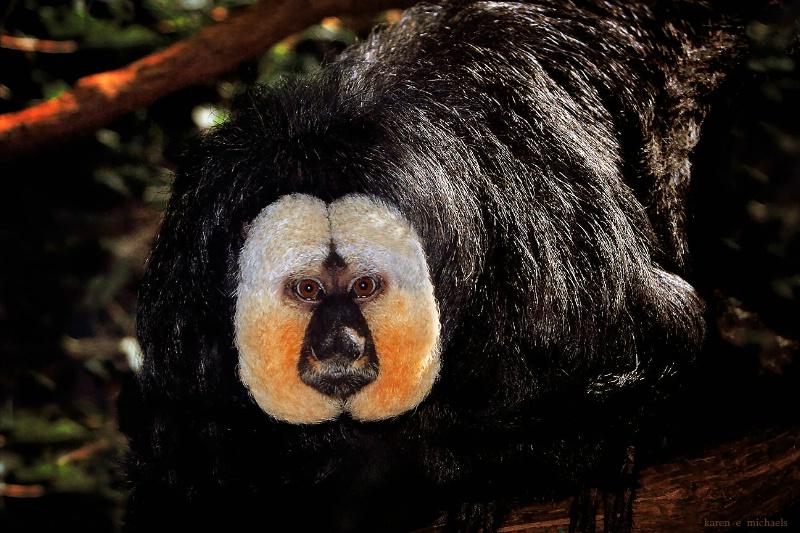 White Faced Saki Monkey - ID: 14559481 © Karen E. Michaels