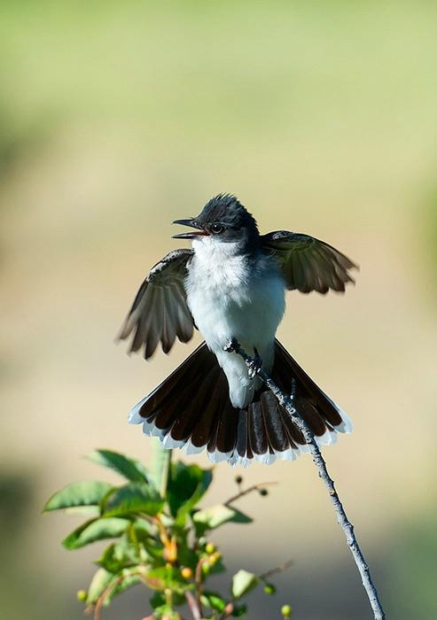 Eastern Kingbird Display