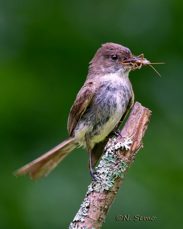 Eastern Phoebe with Grasshopper.