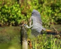 YEL-Crowned Night Heron-Flight