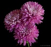 3 chrysanthemums