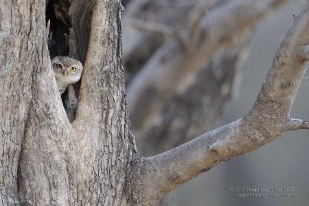 Spotted Owlet-1 (Athene brama)