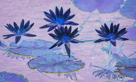Midnight Blue Water Lilies