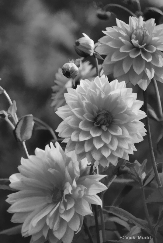 Black and White Dahlias