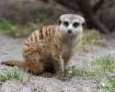Adorable Meerkat