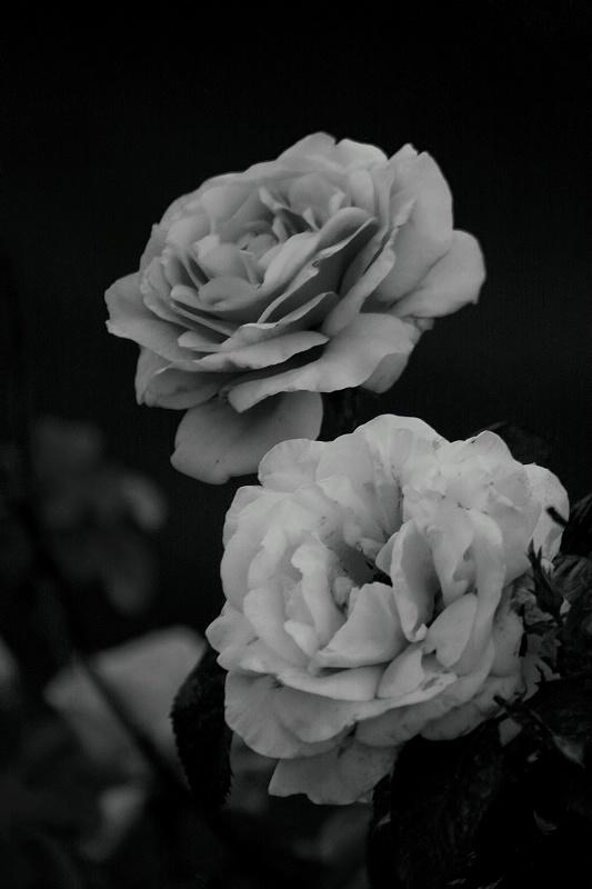 Roses (Black and white)