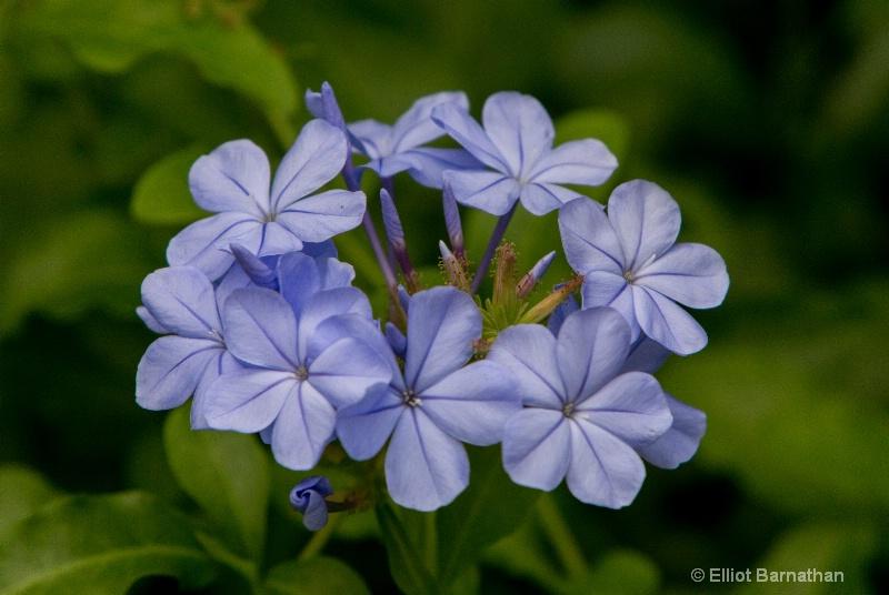 Hawaiian Flowers 6 - ID: 14586859 © Elliot S. Barnathan
