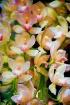 Orchids, Orchids ...