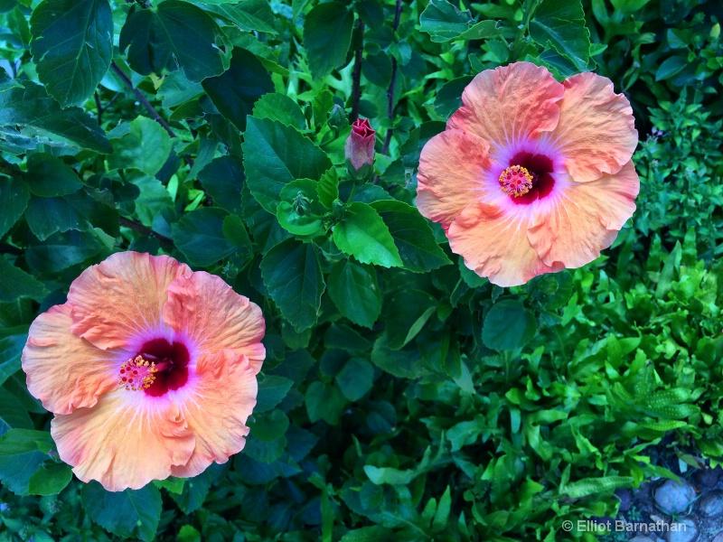 Hawaiian Flowers 3 - ID: 14588013 © Elliot S. Barnathan