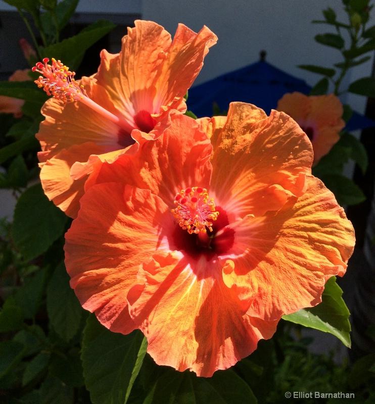 Hawaiian Flowers 2 - ID: 14588014 © Elliot S. Barnathan