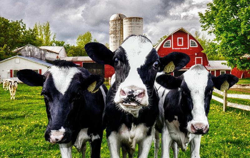 Heifers! - ID: 14588801 © Sheila Babbie