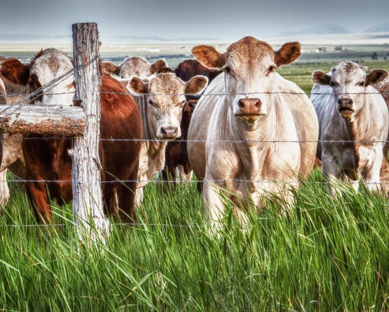 Curious Cows - ID: 14589467 © Sheila Babbie