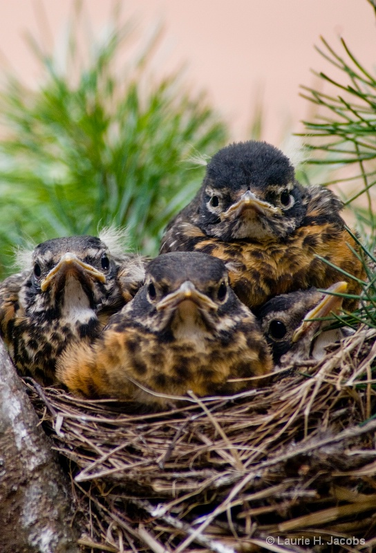 A Very Crowded Nest - ID: 14599063 © Laurie H. Jacobs