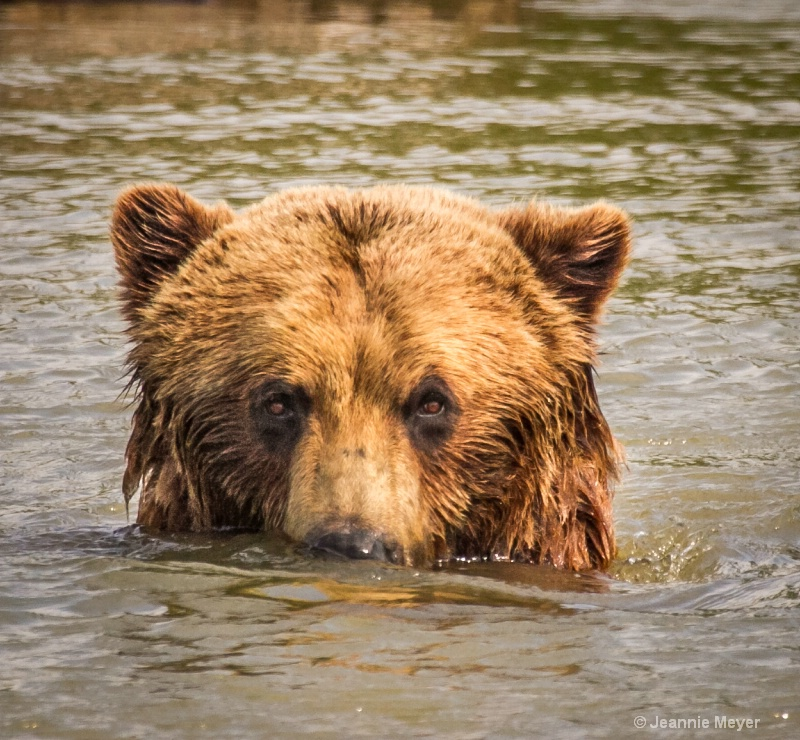 Brown Bear on the Trail of Blue Ice in Alaska