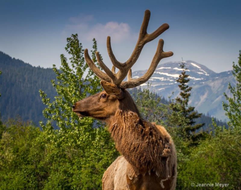 Elk in Girdwood, AK