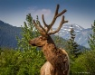 Elk in Girdwood, ...