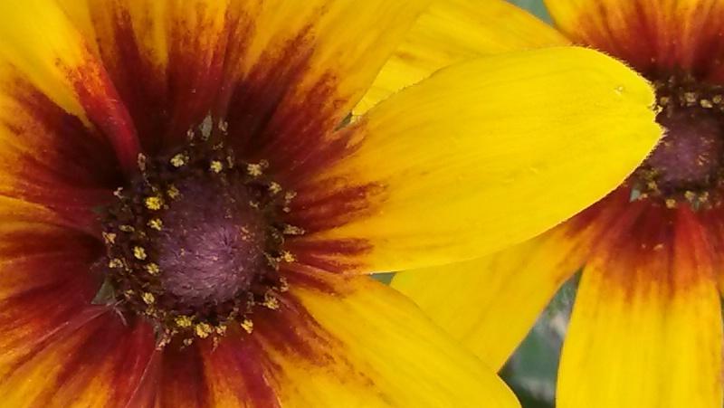 Eye of the daisy - ID: 14604013 © Merrille Mason