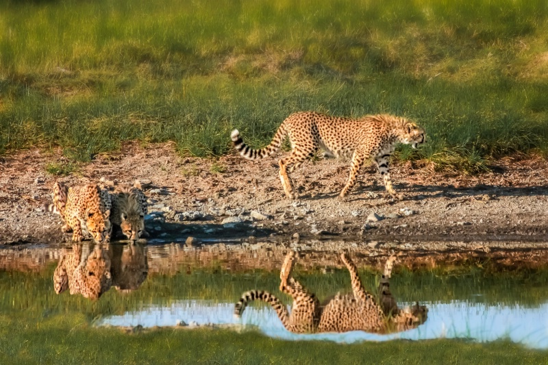 Cheetah Reflection 3