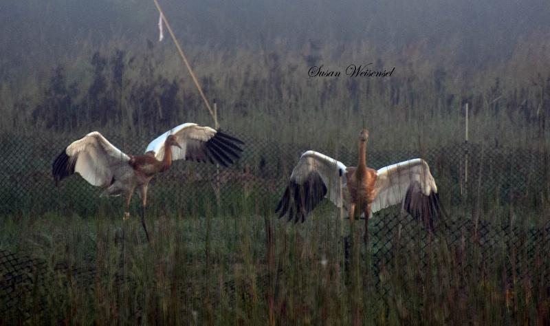 Juvenile Whooping Cranes