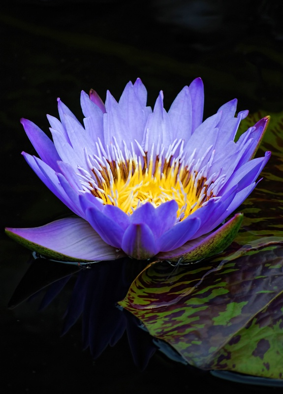 Blue Waterlily #10