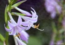 Wildride Hosta Flowers