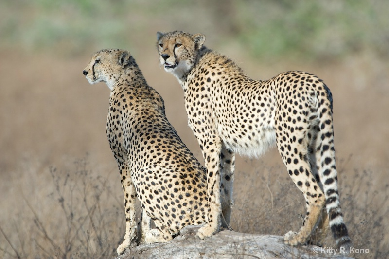 Cheetahs on the Lookout