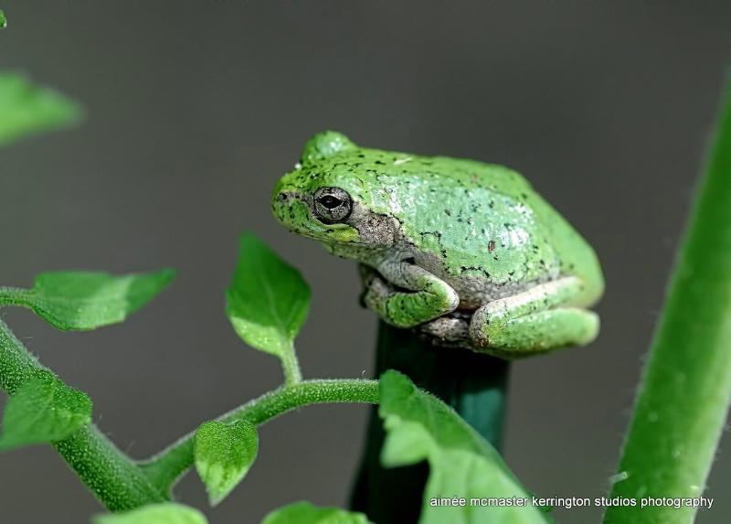 wee tree frog