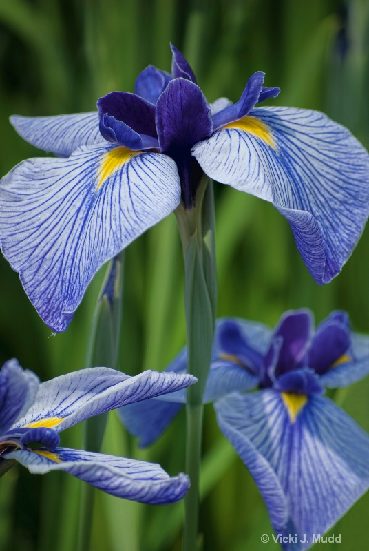 The Blue Iris Trio