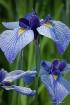 The Blue Iris Tri...