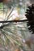 pine v cone