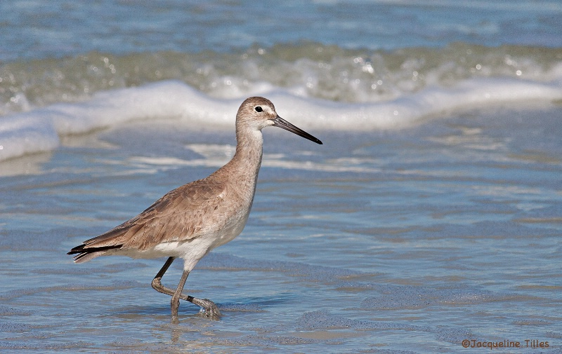 Willet on the Shore - ID: 14617409 © Jacqueline A. Tilles