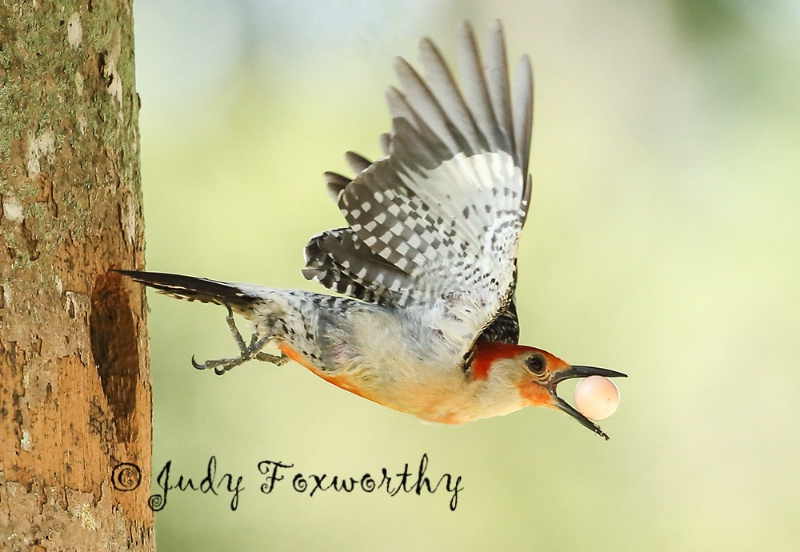 Red-bellied Woodpecker Stealing Egg