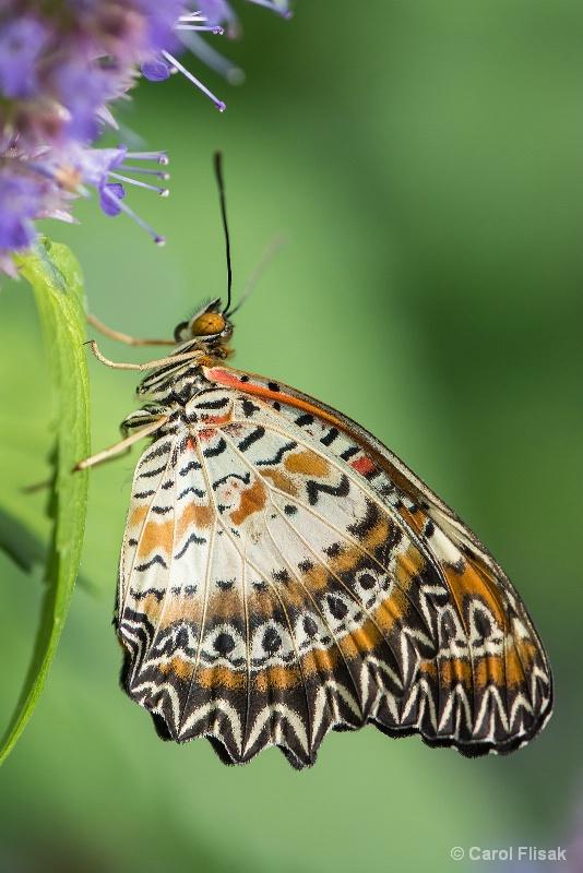 Common Lacewing - ID: 14622059 © Carol Flisak