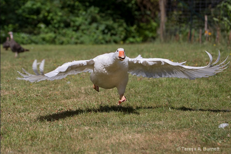 Goose on the Loose - ID: 14623445 © Teresa A. Burnett