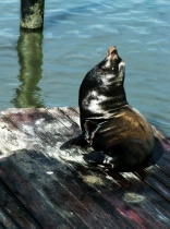 San Fransisco Bay Seal, Pier 39