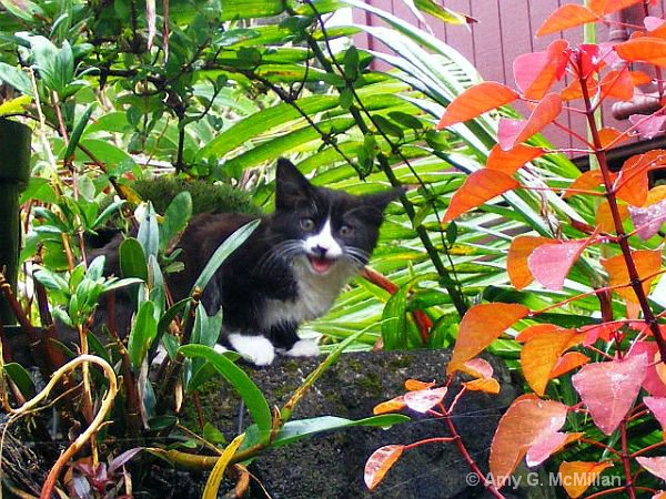 Mid Meow... - ID: 14626410 © Amy G. McMillan