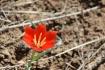 Tulip Shrapy