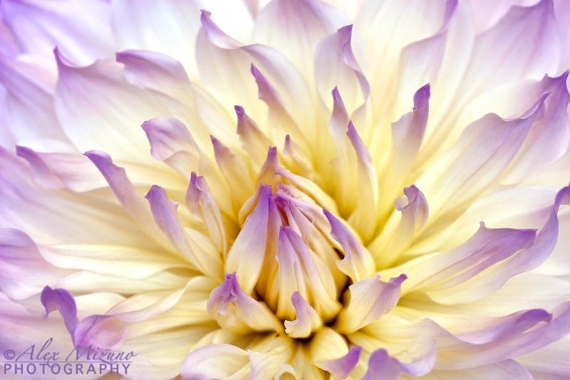 Silky Lavender Drape