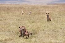 Spotted Hyenas Carrying a Zebra Leg