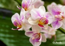 Dreamscape Orchids