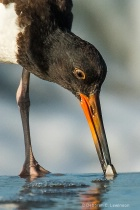 Young Oystercatcher finds a Clam