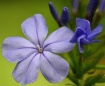 Plumbago Bloosoms