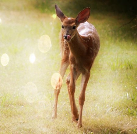 Young Whitetail