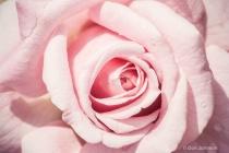 Pink Rose Close-Up 084