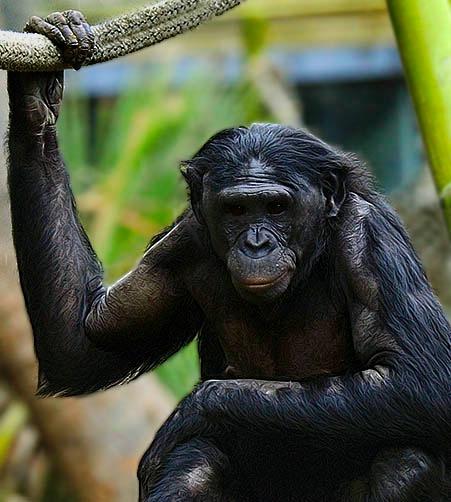 The Bonobo Look