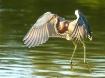 Tri-Colored Heron...