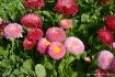 Marguerite flower...